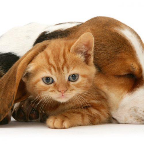 Ginger kitten under the ear of a sleeping Basset pup.